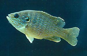 Green_Sunfish