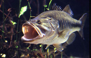 Largemouth_Bass
