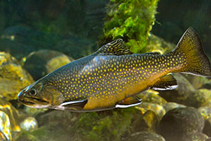brook_trout