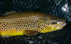 browntrout_2