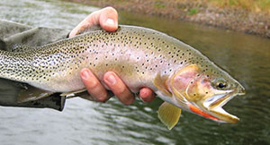 cutthroat_trout